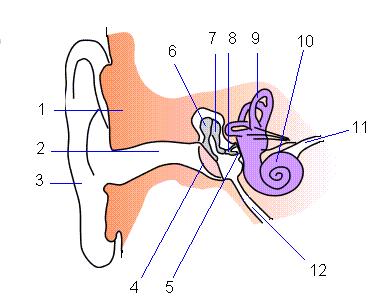 耳栓ブログ|ヒトの耳(紫色の部分が内耳)